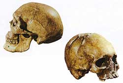 Skull of male (left) and female (right) from Upper Cave at Zhoukoudian